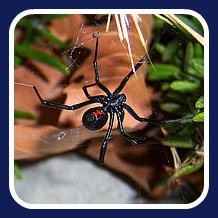 black widow spider first aid