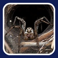 funnel web bite first aid