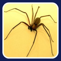 first aid for brown recluse spider bite