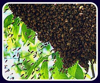 bee swarm hive